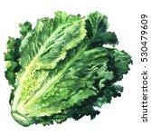 fresh green romain lettuce... | Shutterstock . vector #530479609