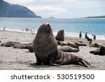 Fur Seals On South Georgia's...