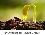 seed for planting and sprout... | Shutterstock . vector #530527834