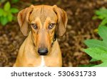 dog shy guilty is a beautiful... | Shutterstock . vector #530631733