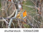 robin red breast in hyde park... | Shutterstock . vector #530665288