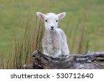 Spring Lamb  New Zealand