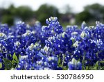One Bluebonnet Rising Above A...