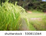 closeup ear of rice in paddy | Shutterstock . vector #530811064