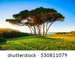 maritime pine tree group near... | Shutterstock . vector #530811079