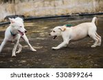 Stock photo german spitz and labrador puppy playing 530899264