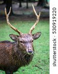 nara male deer with antlers... | Shutterstock . vector #530919220