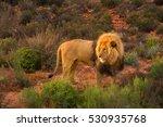 male lion standing in bush ... | Shutterstock . vector #530935768