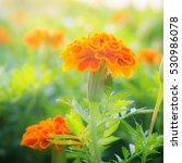 Marigold Flower In Garden Thai...
