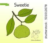 sweetie  citrus oroblanco ... | Shutterstock .eps vector #531013078