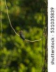 dollarbird in the nature. | Shutterstock . vector #531035839