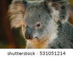 A portrait of cute koala bear