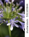 Small photo of African lily, Agapanthus africanus, flower of the Agapanthaceae family originating in South Africa - Sao Paulo, SP, Brazil - December 03, 2016