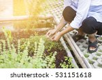 woman harvesting herbal plants... | Shutterstock . vector #531151618