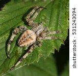 european garden spider or cross ...   Shutterstock . vector #531243094