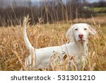 English Setter On Point ...
