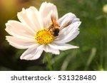 Honey Bee Collecting Pollen...