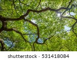 finer branches of the angle oak ... | Shutterstock . vector #531418084