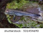Atlantic Mudskipper ...