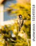 sparrow perched on a passeridae ... | Shutterstock . vector #531455518