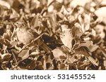 sparrow on a bush e passeridae... | Shutterstock . vector #531455524