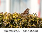 sparrow on a bush a passeridae... | Shutterstock . vector #531455533