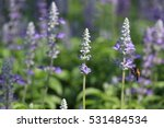 blue salvia flowers beautiful... | Shutterstock . vector #531484534
