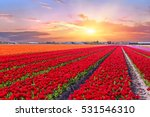 Blossoming Tulip Fields In A...