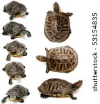 An Image Of Red Eared Slider...