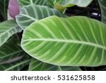 zebra plant's beautiful leaf... | Shutterstock . vector #531625858