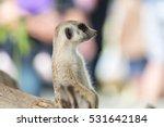 Portrait Of Meerkat Cute Poses...