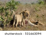 Lion At A Giraffe Kill