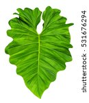 elephant ear  taro  large heart ... | Shutterstock . vector #531676294