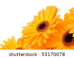 gerber flowers isolated on... | Shutterstock . vector #53170078