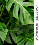 philodendron monstera leafs... | Shutterstock . vector #531764974
