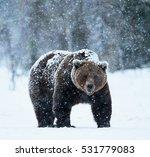 beautiful brown bear walking in ...   Shutterstock . vector #531779083