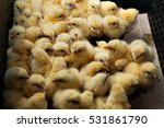 Lots Of Little Chicks In A Box...