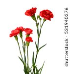 Carnation Flower Isolated On...