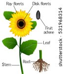 Structure Of The Sunflower.