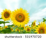 Sunflowers Garden