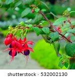 Fuchsia Or Hummingbird Fuchsia