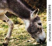 Small photo of Turkmenian kulan (Equus hemionus kulan), also known as the Transcaspian wild ass. Wild life animal.