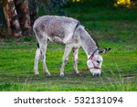 Donkey Grazing In Natural...