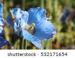 Himalayan Blue. Meconopsis...