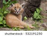 Stock photo caracal caracal caracal cub cute and adorable 532191250