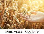 Woman Hand With Ear Of Wheat....