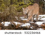 Mountain Lion With Snowy Woode...