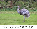Emu Standing On Green Grass