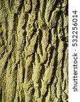 Small photo of Bark of English Oak (Quercus robur)