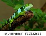 Male Fiji Banded Iguana ...
